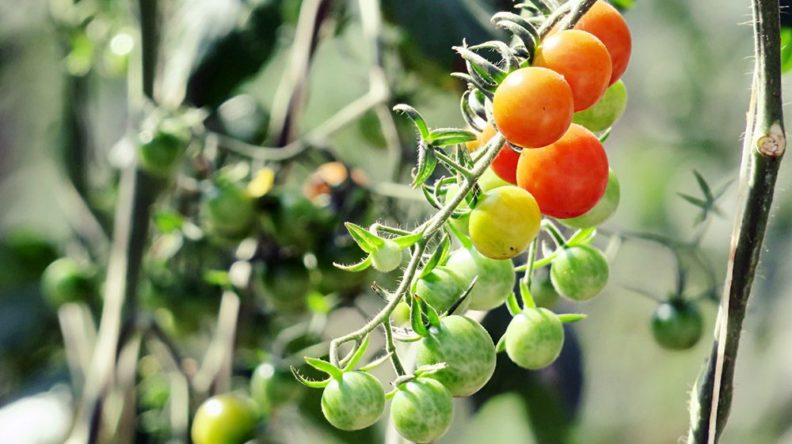 Growing baby tomatoes in plant farm